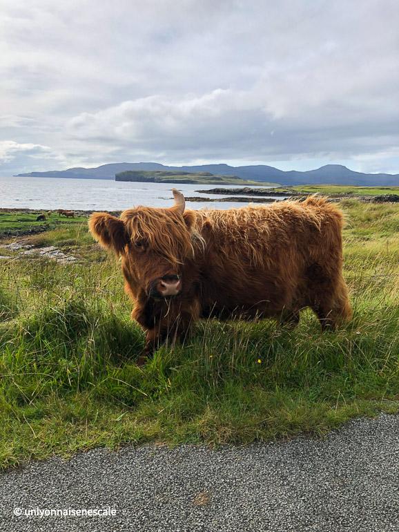 Vache de race Highlands